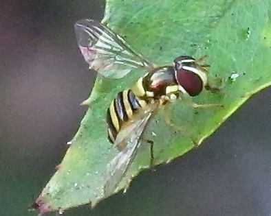 What species of hoverfly is this? - Allograpta exotica