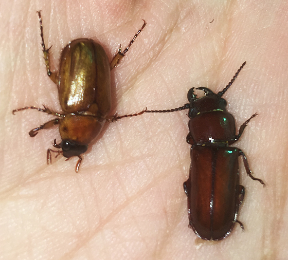 Scarab and cerambycid beetle together