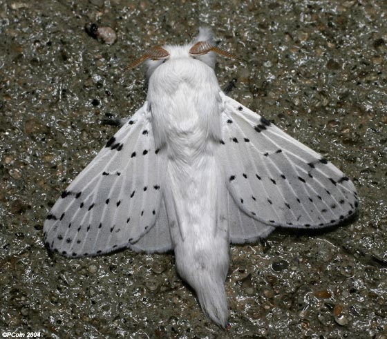 Dot-lined White - Artace cribrarius - male