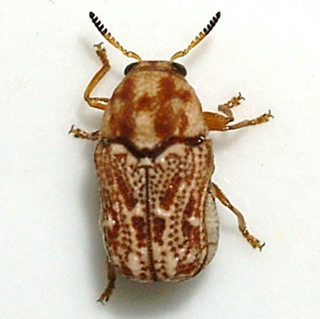pachybrachis - Pseudochlamys semirufescens