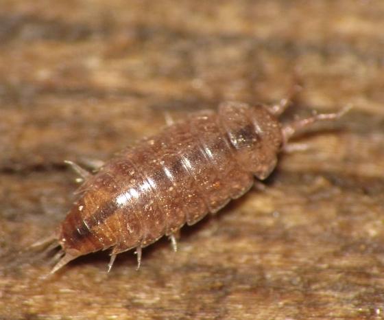 Trichoniscidae?