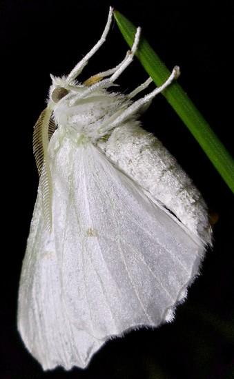 spanworm - Ennomos subsignaria - male