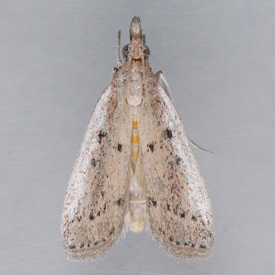 6073 Goya Moth  - Goya stictella