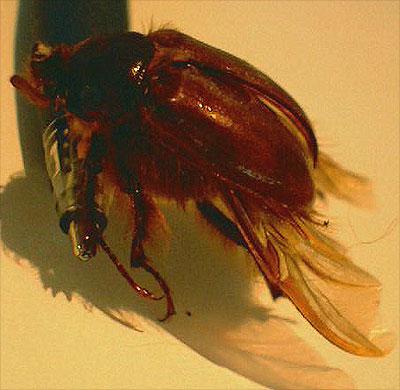 Rain Beetle - Pleocoma - male