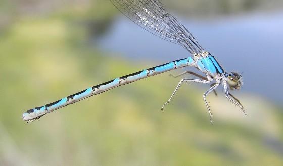River Bluet (andromorph) - Enallagma anna - female