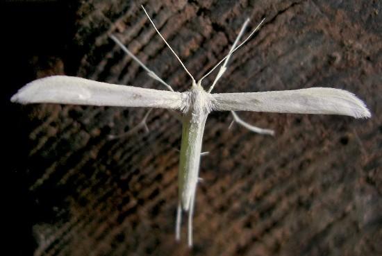 plume moth - Hellinsia homodactylus