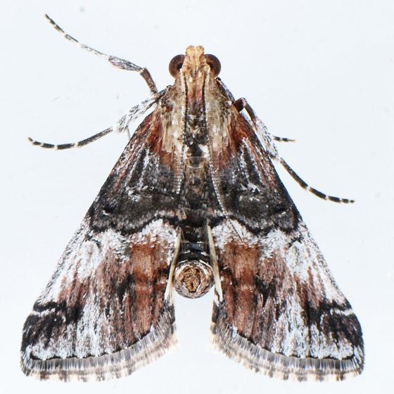 5585  - Toripalpus trabalis