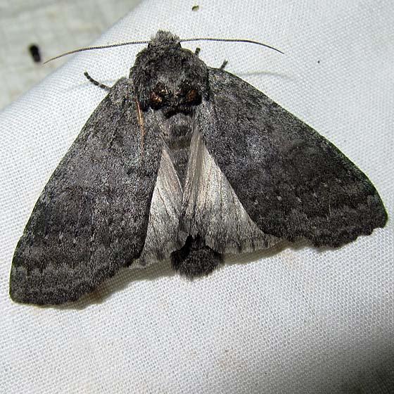 moth – Noctuidae or Notodontidae - Heterocampa ruficornis