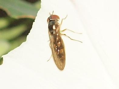 Syrphidae - Melanostoma mellinum