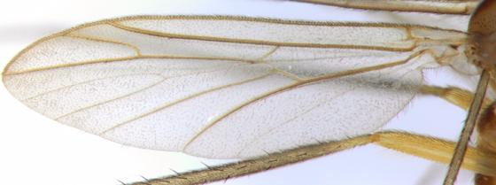 Ditomyiidae - wing - Symmerus vockerothi - male
