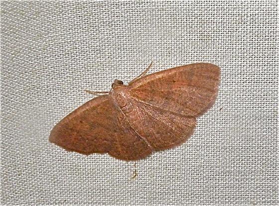 Geometer Moth - Ilexia intractata