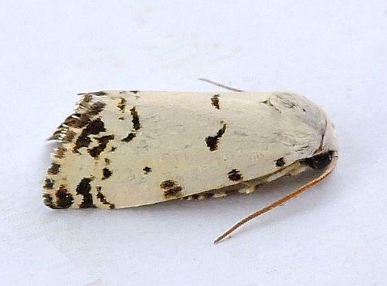 Arizona Moth - Grotella soror Hodges 11223  - Grotella soror