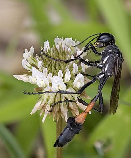 Digger Wasp - Ammophila procera