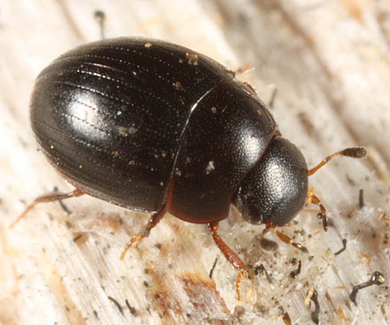 Water Scavenger Beetle - Cercyon connivens