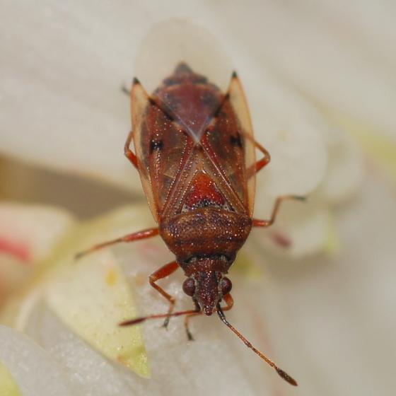 Bug on andromeda flowers - Kleidocerys resedae