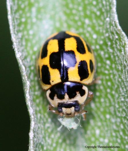Lady Beetle - Propylea quatuordecimpunctata