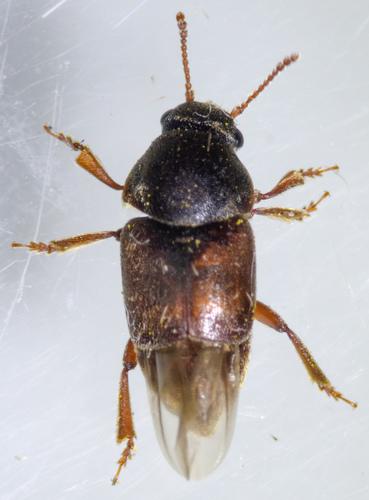 Nitidulid - Amartus tinctus
