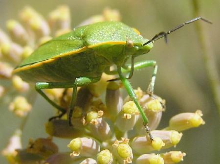 A beetle this time - Chlorochroa ligata