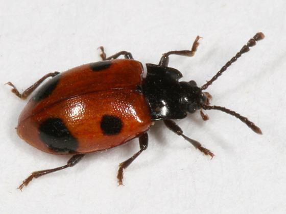 Handsome Fungus Beetle - Endomychus biguttatus