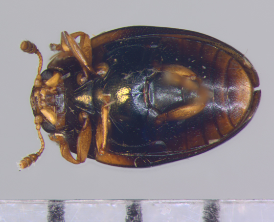 Erotylidae, ventral - Tritoma humeralis