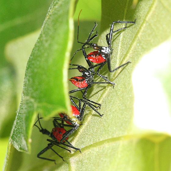 Wheel Bug Nymphs - Arilus cristatus