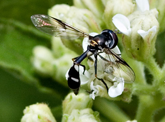 Small Wasp like fly - Dioprosopa clavata