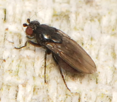unknown small fly