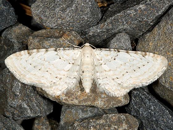 Eupithecia cretaceata