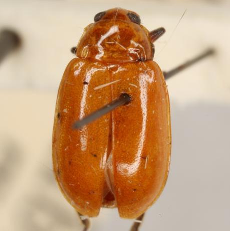 Parchicola tibialis (Olivier) - Parchicola tibialis