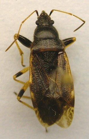 Bug - Perigenes constrictus