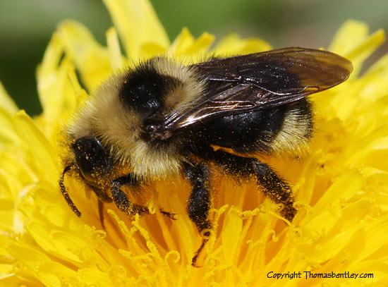 Bombus species - Bombus insularis - female