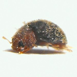 Scymnus sp? - Rhyzobius lophanthae