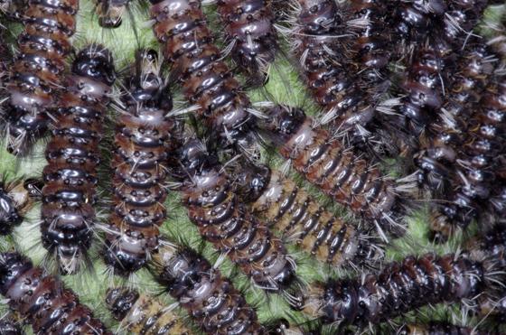 Unknown  larvae massed on underside of  common milkweed leaf 1:1 image. - Euchaetes egle