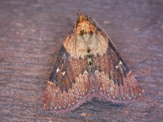 Omphalocera munroei - Asimina webworm Moth - Omphalocera munroei