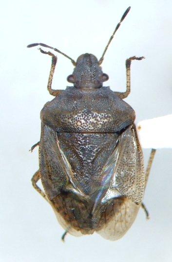 Stinker - Mcphersonarcys aequalis - female