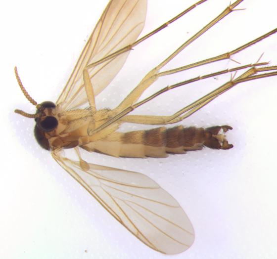Keroplatidae, ventral - Orfelia - male