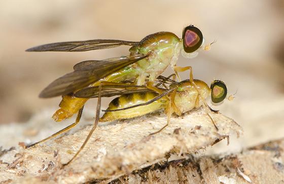Ptecticus trivittatus - mated pair - Ptecticus trivittatus - male - female