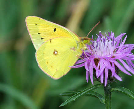 Colias eurytheme - Orange Sulphur - Colias eurytheme