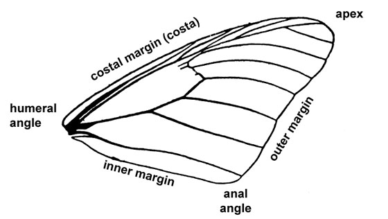 Insect Wing Diagram Regions Bugguide