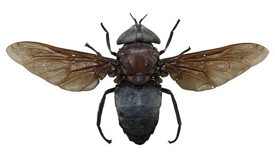 Tabanus atratus - Black Horse Fly - Tabanus atratus - female