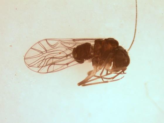 Lachesilla pedicularia  Linnaeus 1758 - Lachesilla pedicularia - female