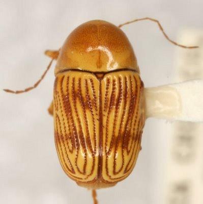 Cryptocephalus quercus Schaeffer - Cryptocephalus quercus