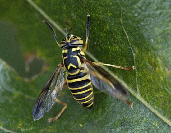 Wasp-like fly - Spilomyia longicornis
