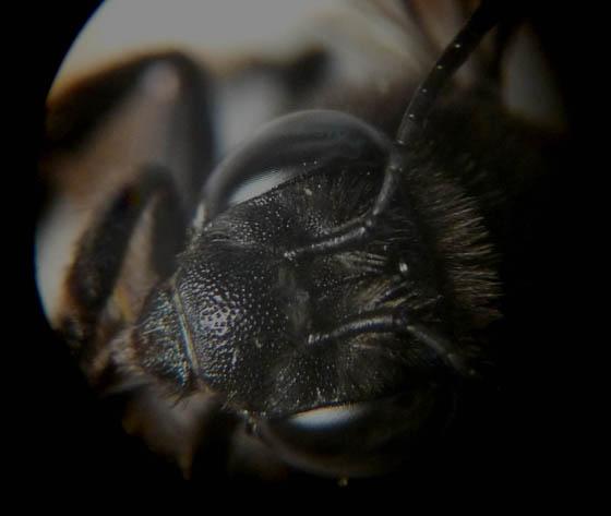 black bee - Melissodes bimaculatus - female