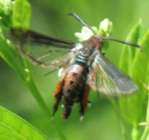 moth 2 - Melittia cucurbitae
