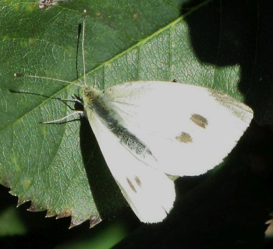 Cabbage White? (Pieris rapae) - Pieris rapae - female
