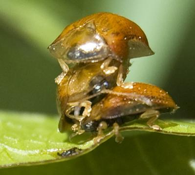 pile of tortoise beetles - Charidotella purpurata