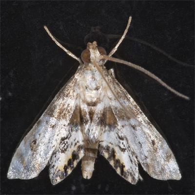 7006352 Petrophila - Petrophila heppneri
