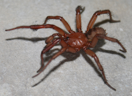 Help identify red crab-like spider - Antrodiaetus montanus ...