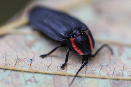 Diurnal Firefly - Ellychnia